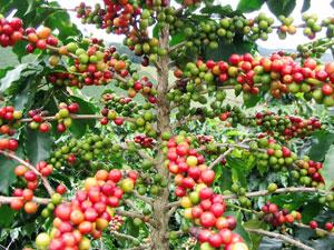 Kivu Coffee Experience Tour  « From Crop To Cup »